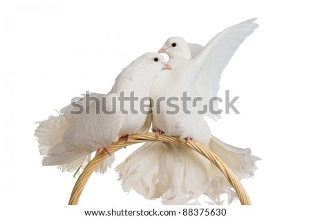 Two white doves kissing and hugging isolated - stock photo