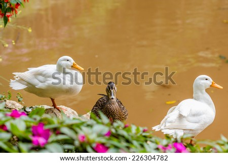 Two white ducks and one female wild duck - stock photo