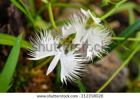 Two white egret flowers (Fringed orchid, Habenaria radiata, Sagiso) on green and brown background