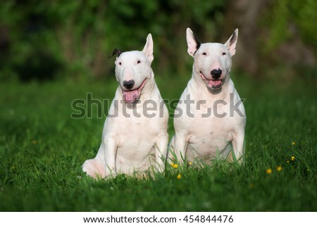 two white english bull terrier dogs outdoors in summer - stock photo