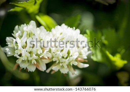 Two white flower clover. Selective focus. - stock photo