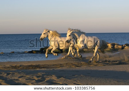 Two white horse galloping on the beach