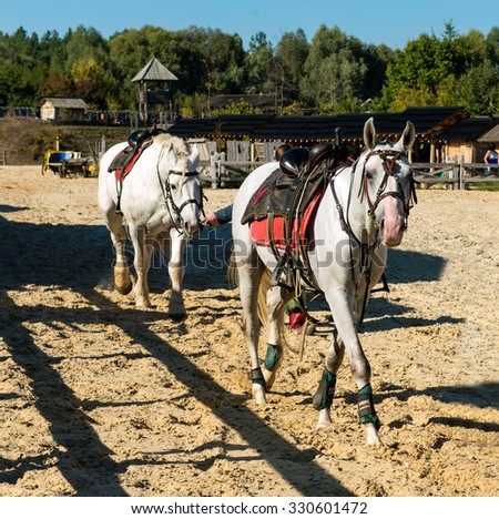 Two white horses before racing. Two white horse is before racing on the stadium. - stock photo