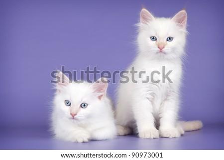 Two white kitten on purple background - stock photo