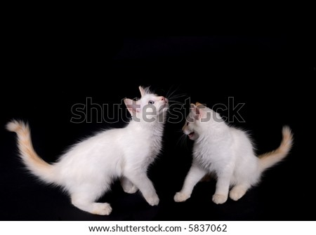 two white kittens fightiing on black - stock photo