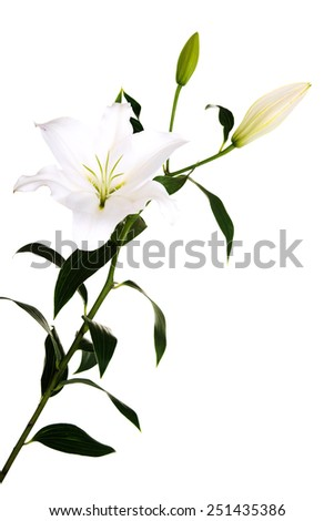 Two white lilies and a bud of lily - stock photo