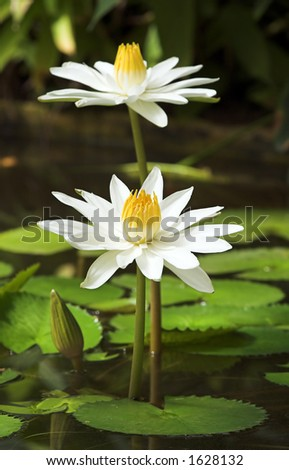 Two white lilies in a dark green pond - stock photo
