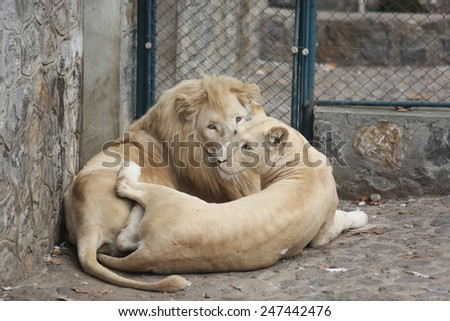 Two White Lions Showing the Love between himself - stock photo