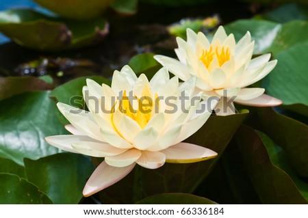 two white lotus - stock photo