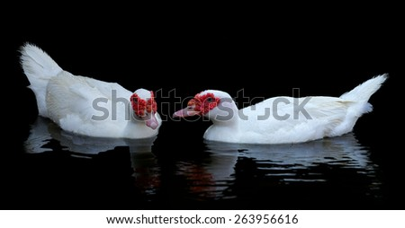 Two white muscovy ducks swim in  pond. Black water and wave reflection of duck. - stock photo