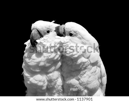 Two white parrots in black and white against black background