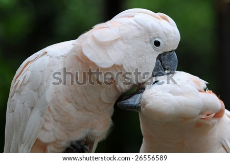 Two white parrots kissing each other - stock photo