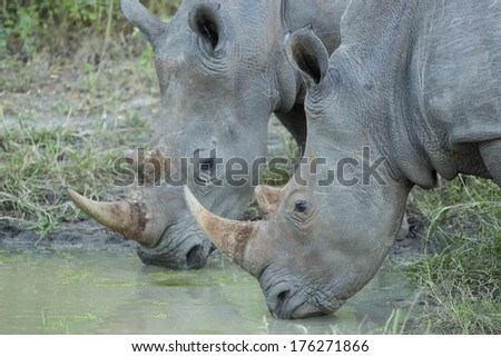 Two White Rhino drinking water in South Africa's Mala Mala Private Game Reserve - stock photo
