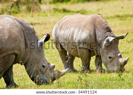 Two white rhinoceros grazing on the grass - stock photo