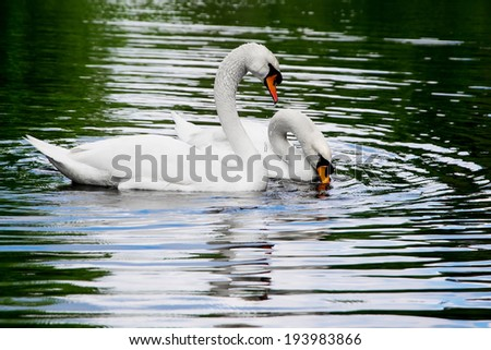 Two white swans on the lake - stock photo
