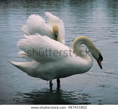 Two white swans swimming in Ontario lake