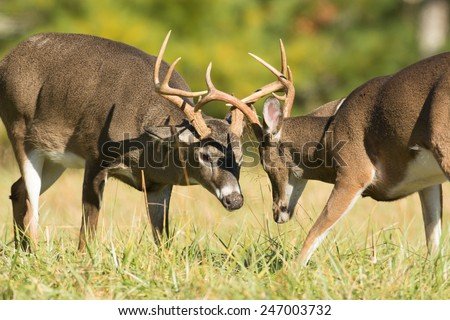 Two white-tailed deer bucks sparring in an open meadow in Smoky Mountain National Park in Tennessee