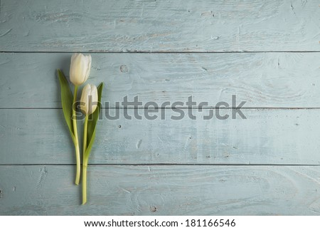 two white tulips on blue wooden background - stock photo