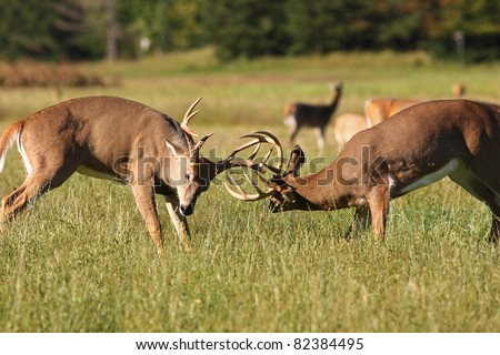 Two Whitetail Bucks Fighting in a Field - stock photo