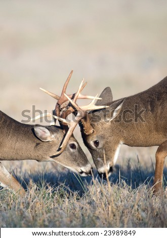 Two whitetail deer bucks lock antlers and battle in an open field during the fall rut