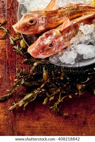 Two whole fresh gurnards in a tub of ice with seaweed below on the wooden counter top keeping chilled and fresh for cooking - stock photo