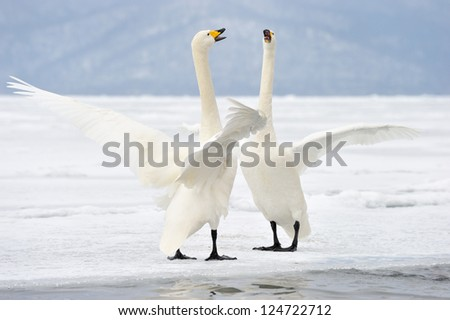 Two Whooper Swans at courtship. - stock photo