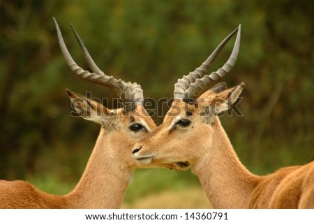 Two wild African male Impala antelope (Aepyceros melampus) head profile portraits with big horns, alert expression standing close together and watching wildlife in a game park in South Africa - stock photo