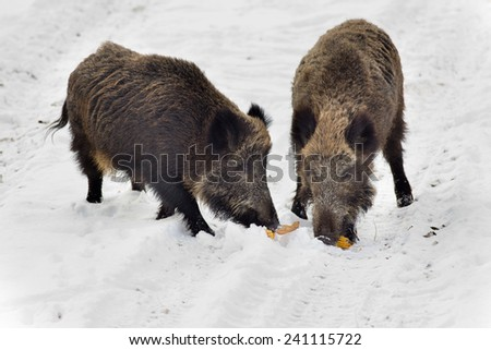 Two wild boars eating corn cob on the snow