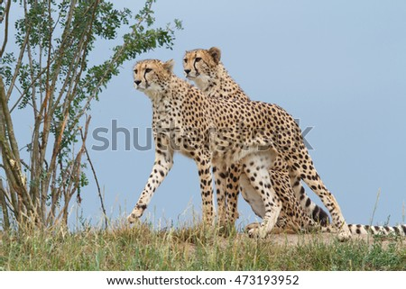 two wild cheetah on a background of blue sky closeup. outdoors