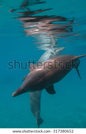 Two wild dolphins underwater and water surface with mirrors - stock photo