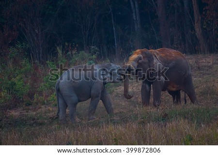 Two Wild elephants (Elephas maximus) playing each other in real nature in the evening at Khaoyai national park, Thailand - stock photo