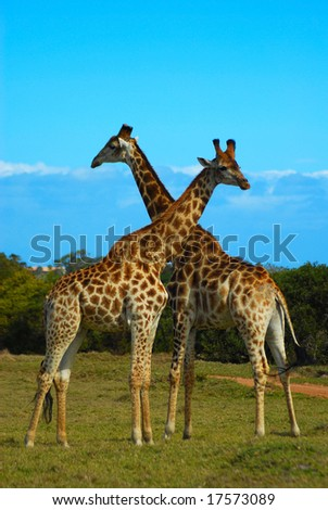 Two wild giraffe bulls in South Africa - stock photo