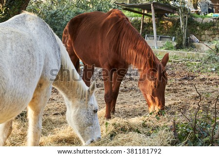 Two wild horses grazing in a field , eating grass , the morning frost on the grass , white and brown horse