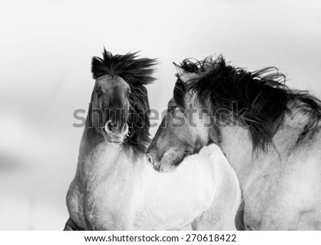 two wild horses monochrome portrait - stock photo