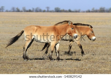Two wild horses quietly go on the steppe - stock photo