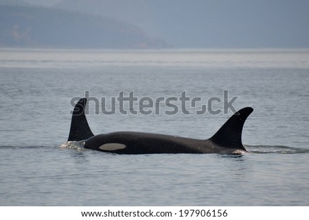Two wild killer whales traveling together in Washington State. - stock photo