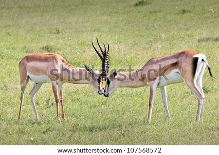 Two Wild Male Impalas (Aepyceros melampus) Fight for Mating (mates) Privileges/Rights in the Masai Mara, Kenya, Africa. - stock photo