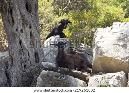 Two wild mountain black goats in forest. - stock photo