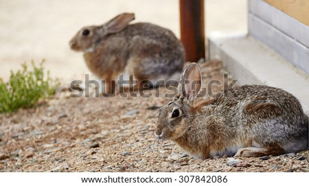 Two wild rabbits sitting against building