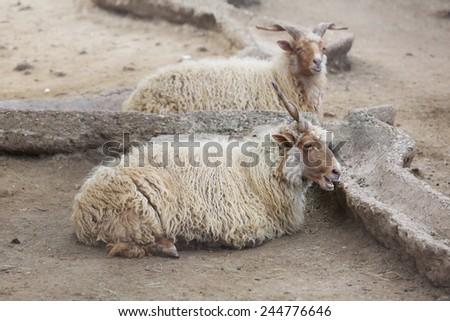 Two Wild White Goat Ibex seating - stock photo