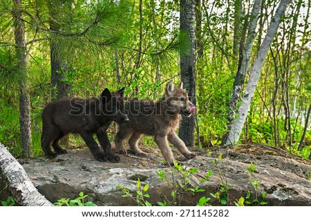 Two Wolf Pups (Canis lupus) Stand on Rock - captive animals - stock photo