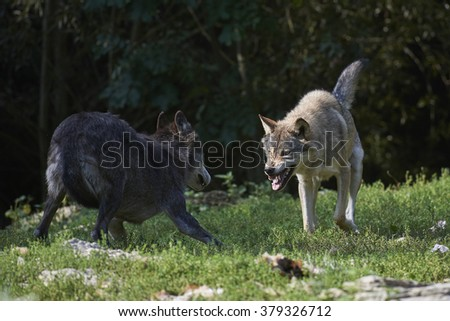 Two wolves fighting for food - stock photo