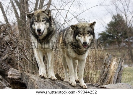 Two Wolves on a Fallen Log - stock photo
