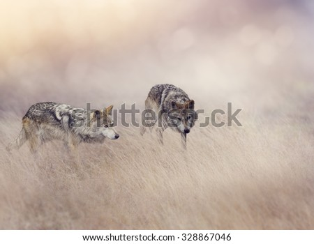 Two Wolves Stalking Through Tall Grass - stock photo