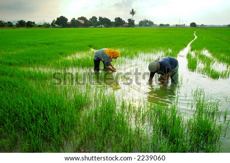 Two women working in paddy field - stock photo