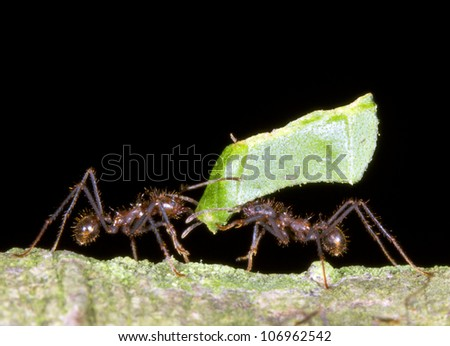 Two worker leaf cutter ants (Atta sp.) in a dilemma - stock photo
