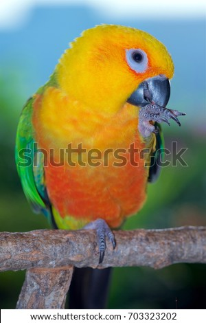 Two year old female Jenday Conure, Aratinga jandaya, a parakeet from South America.