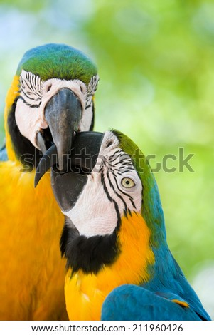 Two yellow and blue macaw birds biting each others beaks - stock photo
