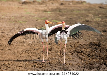 Two Yellow billed storks fight for domination of territory at a dam - stock photo