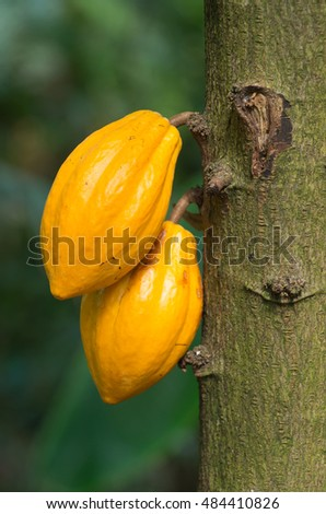 Two yellow cocoa fruits growing on the tree